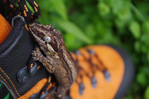 Gecko, Lizard, Wildlife, Eye, Reptile, Animal