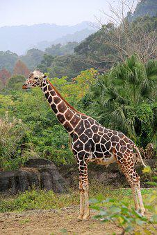 Giraffe, Unicorn, Zoo, Spot, Bulk, High, Woodland, Pee