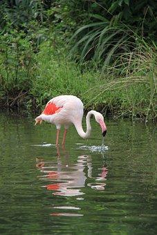 Red Crane, Birds, Pond, 覓 Food, Zoo, Pink, Underbrush