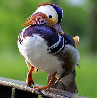 Mandarin, Bird, Duck, Colored, Dashing, Hybrid