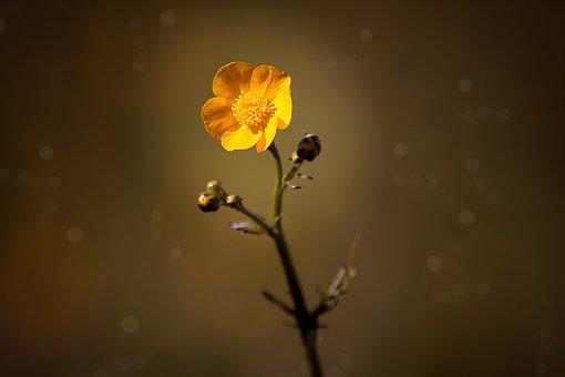Buttercup, Flower, Hahnenfußgewächs, Blossom, Bloom