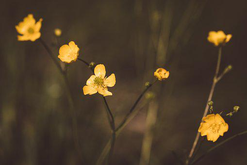 Buttercup, Yellow, Pointed Flower, Blossom, Bloom