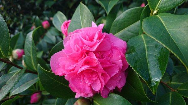 Camellia, Debbie, Flowering