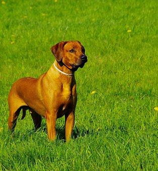 Dog, Ridgeback, Rhodesian