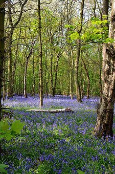Bluebells, Forest, Rufford Park, Spring, Nature, Flower