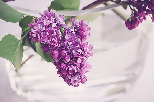 Lilac, Purple, Violet, Spring, Bloom, Flowers, Nature