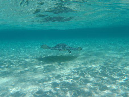 Sting Ray, Underwater, Grand Cayman, Stingray City