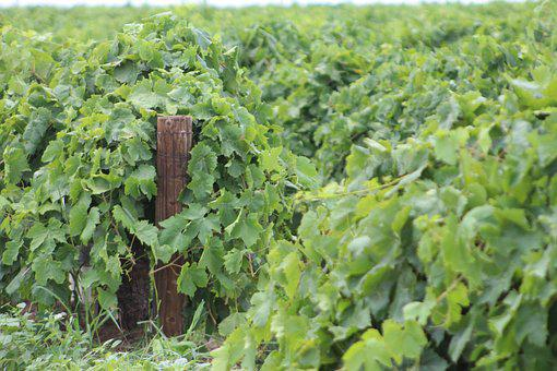 Grapevine, Green, Post, Vine, Agriculture, Vineyard