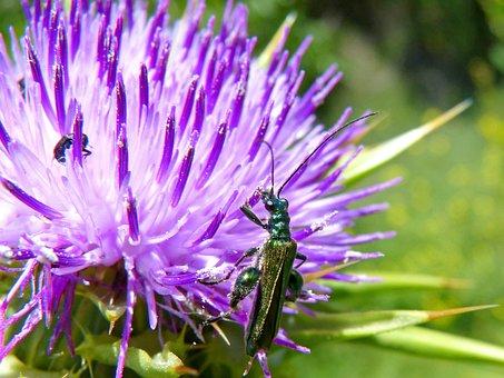 Psilothrix Viridicoerulea, Green Beetle, Thistle