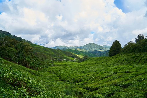 Tea, Field, Green, Background, The Tea Plantations