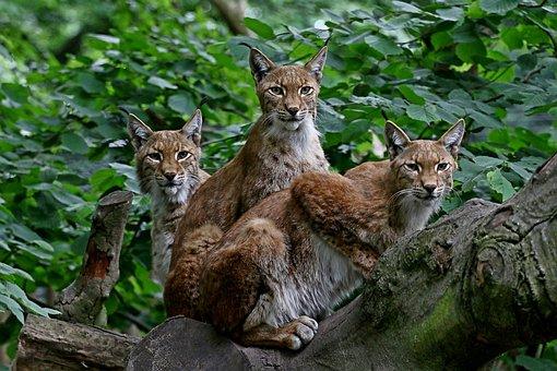 Group, Lynx, Family