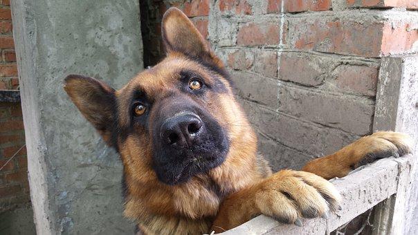 Dog, German Shepherd, Animals, Pets, Man's Best Friend