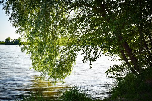 Tree, Pasture, Water, Weeping Willow, Nature, Meadow