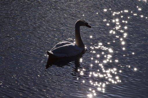 Swan, Animal, Bird, Graceful, Elegant, Chic, Nature