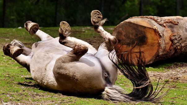 Tarpan, Horse, Play, Left Out, Rolling, Animal, Nature