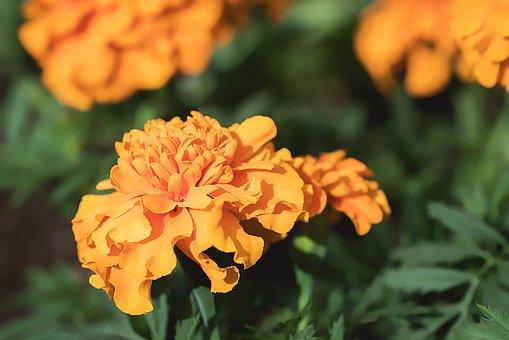 Marigold, Orange, Orange Tagetes, Flower, Orange Flower