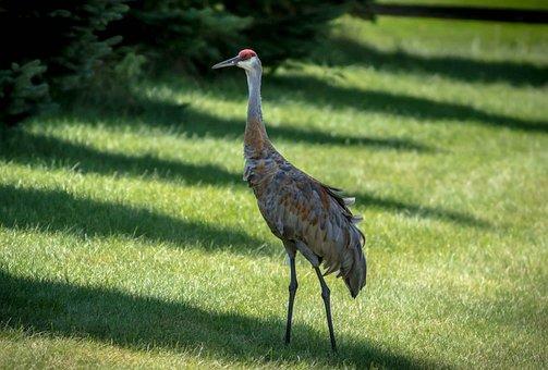 Sand Hill Crane, Crane, Pterodactyl, Bird, Noisy, Avian