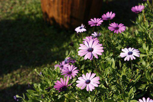 Blue Eyed Daisy, Pink, Purple, Most, Flowers And Plants