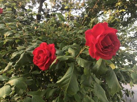 Flowers, Red, Random