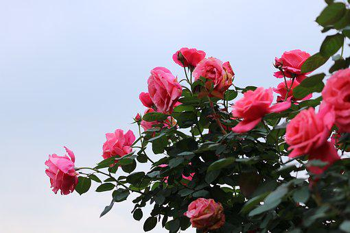 Rose, The Association Of Spring City Forest Garden