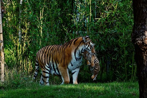 Tiger, Tiger Baby, Mother And Child