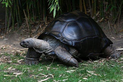 Turtle, Giant Tortoise, Panzer, Large