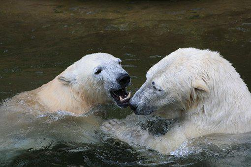 Icebear, Animal, White, Bear, Fur, Polar, Arctic