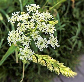 Sharp Sheaf, Achillea, Wild Herb, Medicinal Plant