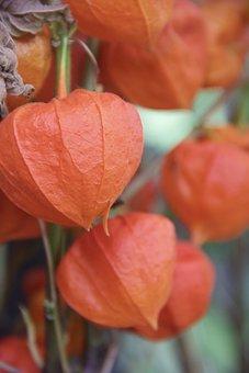 Plant, Andes Berry, Orange