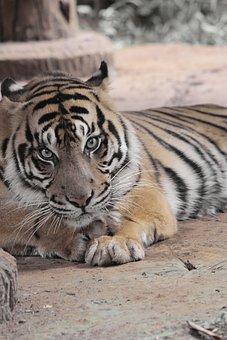 Tiger, Animal, Wild, Zoo, Wildlife, Nature, Mammal, Set
