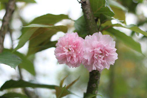Cherry Blossom, Association Spring Gardening