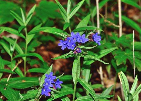 Flower, Blue, Forest, Dark Lungwort, Pulmonaria Obscura