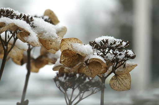 Hydrangea, Winter, Freezing, Snow, Cold, Grizzled