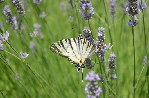 Butterfly, Lavender, Field Of Lavender
