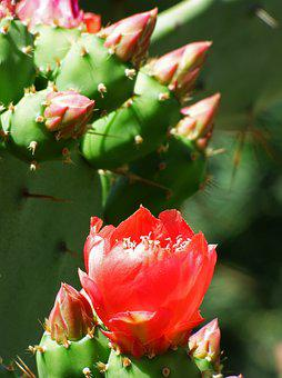Cactis, Shovels, Cactus, Flower Of The Cactus