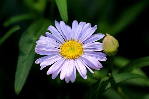 The United States, Chrysanthemum, Flowers, Plants