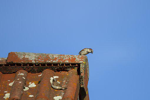 Sperling, House Sparrow, Hide, Search