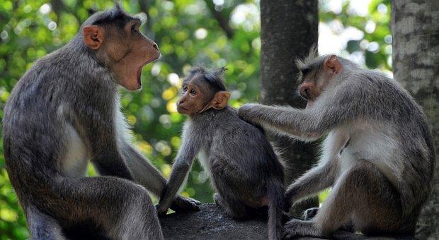 Monkey, Family, Wildlife, Young, Wyanad, India