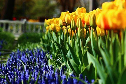 Regular Tulips, Spring, Konya, Tulips