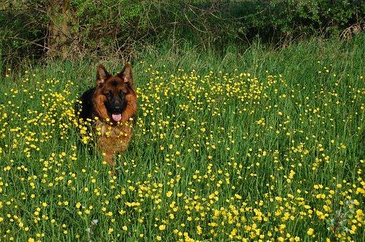 German Shepherd, Friend, Long-haired, Meadow, Language