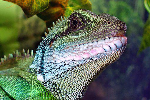 Chinese Water Dragon, Male Chinese Water Dragon