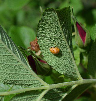 Ladybug Pupa, Leaf Underside, Close-up, Ladybug, Pupa
