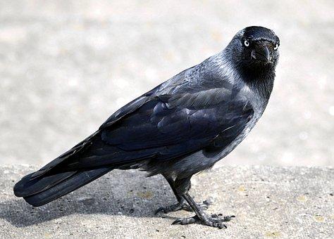 Raven Bird, Black, Bill, Jackdaw, Corvidae, Nature