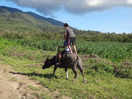 Water Buffalo, Ride, Agriculture, Buffalo, Rice, Ox