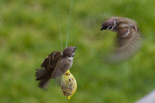 Sperling, Sparrow, Air Combat, Futterneid