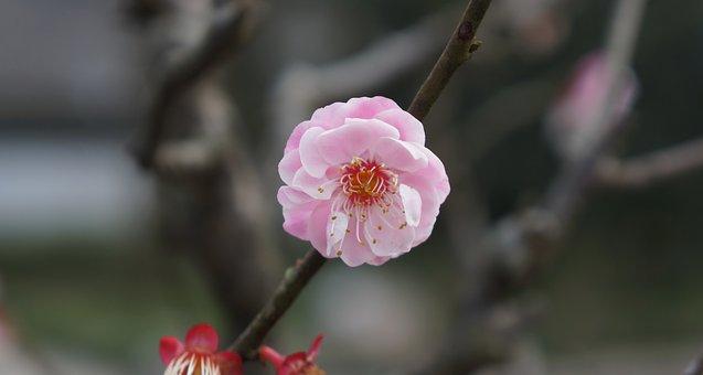 Pink, Plum Blossom, Flower, Spring, Macro
