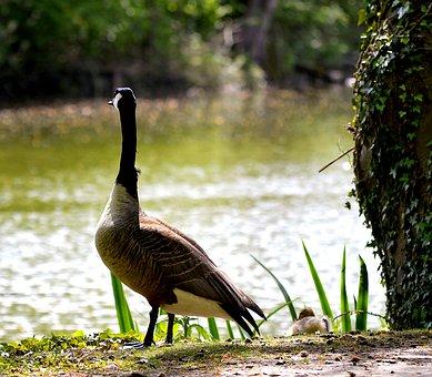 Wild Goose, Canada Goose, Water Bird, Goose, Bird