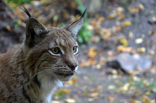 Lynx, Cat, Wild, Tom