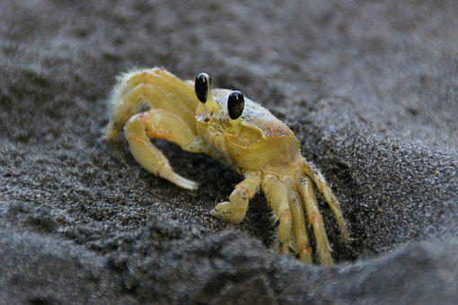Crab, Yellow, Sea, Sand, Beach, Ocean, Martinique