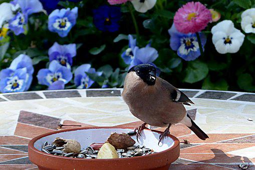 Animal, Bird, Bullfinch, Pyrrhula, Female, Foraging
